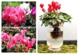 by DUBU Cyclamen Skgs Sowbread Seeds Flowering Plants Indoor Balcony Bonsai - About 5 Particles