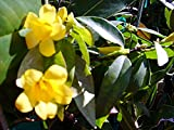 CAROLINA JASMINE Fragrant Swamp Jessamine Yellow Spring Flowering Vine Live Plant Starter Size 4 Inch Pot Emerald TM