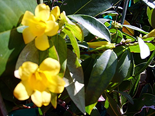 CAROLINA JASMINE Fragrant Swamp Jessamine Yellow Spring Flowering Vine Live Plant Starter Size 4 Inch Pot Emerald TM by Emerald Goddess Gardens TM