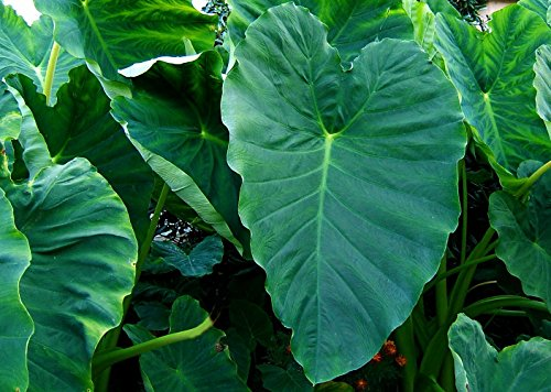 Bun Long Elephant Ear Plant - Taro - Colocasia - Massive Foliage - 4'' Pot by Hirt's Gardens
