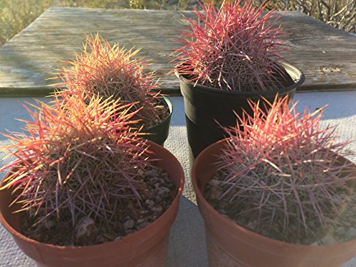 Red Spine Barrel Cactus-Fuchsia Blooms-3