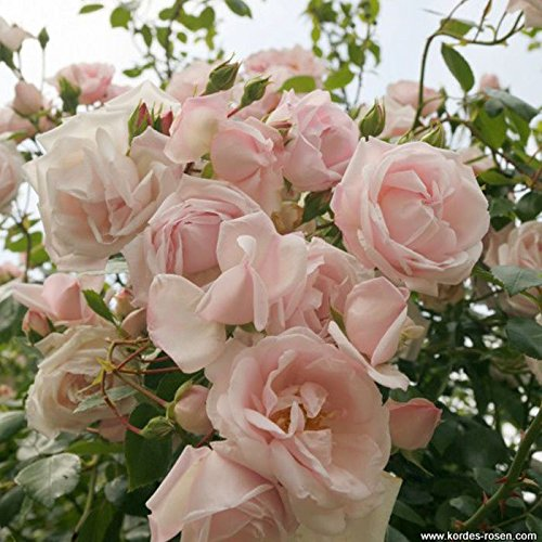 Buy live rose bushes ready to plant blue