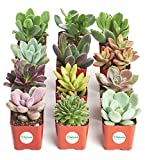 Shop Succulents   Unique Collection of Live Succulent Plants, Hand Selected Variety Pack of Mini Succulents   Collection of 12