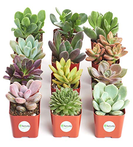 DEAL OF THE DAY! TOP SELLING SET OF 12 LIVE SUCCULENT PLANTS!