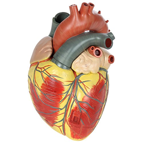 Axis Scientific Large Human Heart Model, 3X Life-Size, 3-Part Numbered Anatomical Heart Illustrates 34 Internal Structures, Magnetically Connected, Includes Product Manual, 3 Year No Hassle Warranty (Best Anatomical Heart Model)