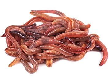 Da Wurmbauer Compost Gusanos Comprar – 250 – 500 – 1000 Unidades – lumbricidae Gusano Humus