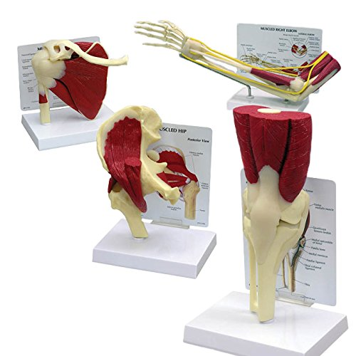 - Orthopedic Muscled Bone Joint Model Set of 4