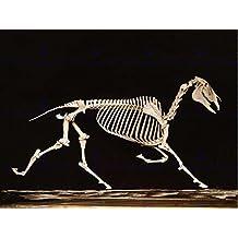 PHOTO VINTAGE ANATOMY MUYBRIDGE HORSE SKELETON DOWN ART PRINT POSTER HP1309