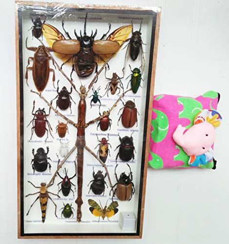 Real Rare Big Set Mixed Stick Insect Insects Box Display Taxidermy Framed Jewel Beetle Spider Cicada Xylotrures Collectible Entomology Gphsy Home Decor Gift Handmade Bug Bugs Glass Wood Wooden 3D ()