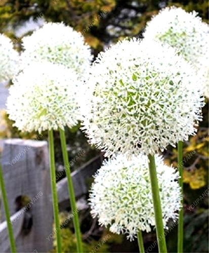 100pcs Giant Onion Seeds White Allium Giganteum Flower Seeds Perenial Flower Bonsai Plant DIY Home Garden