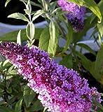 "PeacockTM Buddleia davidii 'Peakeep' Butterfly Bush - Proven Winners - 4"" Pot"