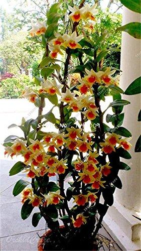 Seeds Shopp 100 Pcs / Bag Multi Color Dendrobium Orchids Bonsai Tree Very Easy Grow Home & Garden Building Flower Seeds