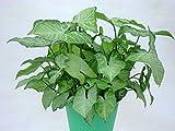 "Arrowhead Plant (Nephthytis), 4"""