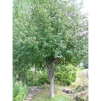 Honeycrisp Apple Tree - Healthy - Established - Trade Gallon Potted - 1 Plant from Grandiosy Farm : Garden & Outdoor