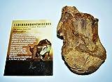 Carcharodontosaurus Dinosaur Vertebra African T-Rex Fossil #14524 16o