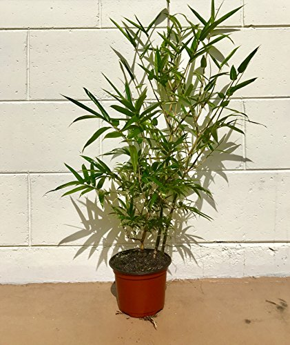 Striped Dwarf Buddha Belly Clumping Bamboo Very Rare! 6'' Container by Clumping Bamboo