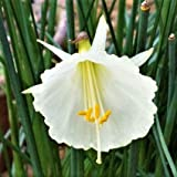 White Daffodil Bulbs - Narcissus Bulbocodium Spoirot - 10 Very Large Bulbs - 15/17 cm | Ships from Easy to Grow TM
