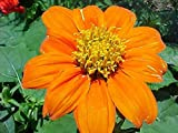 Tithonia rotundifolia Goldfinger | Mexican Sunflower | 100_Seeds
