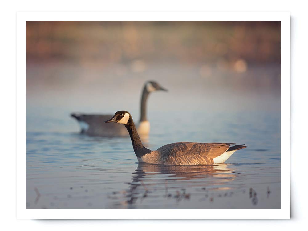 Canada Geese Pair - Wildlife Photograph Animal Picture Home Decor Wall Nature Print - Variety of Sizes Available