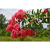 Tonto Crapemyrtle Tree (2-3 feet tall in trade gallon containers) Red to Fuschia crape myrtle