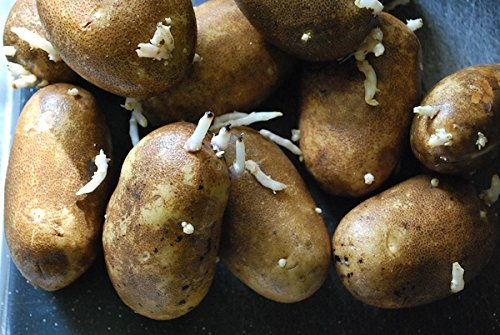 Simply Seed - Russet Burbanks - Certified Organic Seed Potatoes - 5 lbs - Ready for Fall Planting