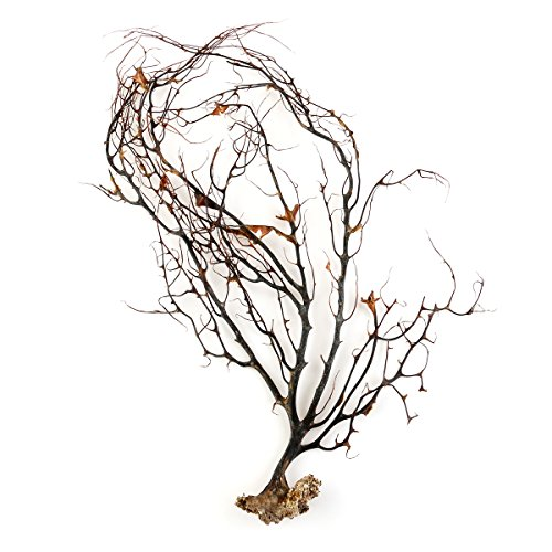 UEETEK Natural Black Sea Coral Ornaments Fish Tank Aquarium Sea Fans Dried Coral (Black Coral Sea Fan)
