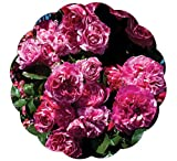 Stargazer Perennials Raspberry Cream Twirl Rose Plant - Fragrant Climbing Rose Potted Pink Striped Flowers - 100+ Petals