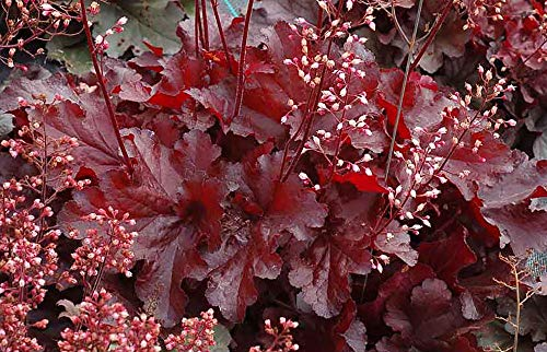 (Forever Red Coral Bells - Heuchera - Shade Perennial - Deep Red - 4