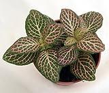 """Pink Nerve Plant - Fittonia - Terrarium/Fairy Garden/House Plant - 2.5"""" Pot"""