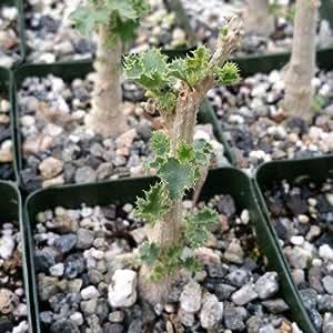 1 Starter Plant of Dendrosicyos socotranum