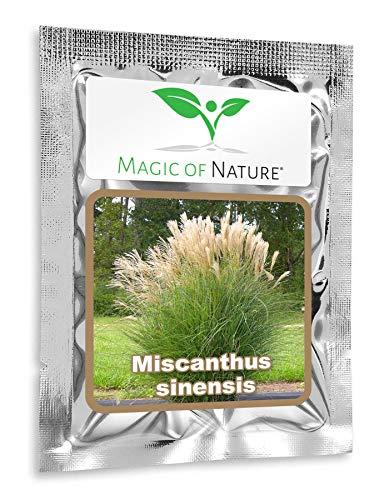 China Grass/Silver Grass - ca. 100 Seeds - Miscanthus sinensis - Ornamental Grass