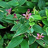 Perennial Farm Marketplace Tricyrtis formosana 'Samurai' (Toad Lily) Perennial, Size-#1 Container, Purple Flowers