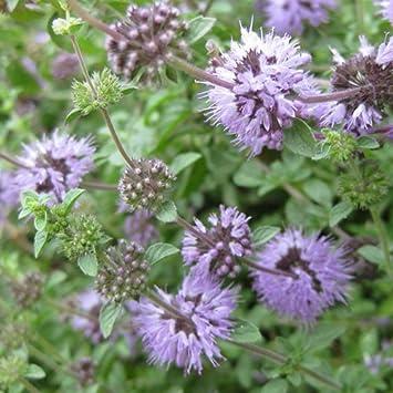 Pennyroyal Seeds Amazoncouk Garden Outdoors