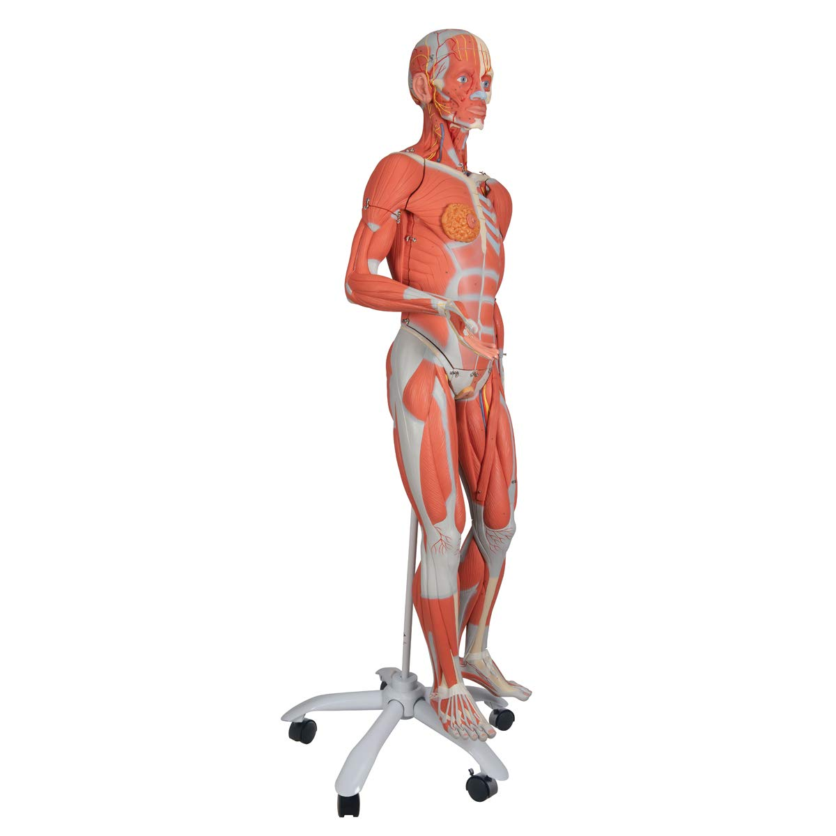 3B Scientific B51 23 Part 3/4 Life-Size Female Muscle Figure