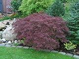 Acer palmatum dissectum atropurpureum RED LACELEAF JAPANESE MAPLE Seeds!