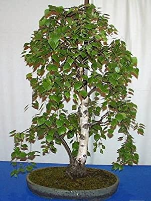 European White Birch 15 Seeds-Betula -Tree/Bonsai