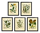 Cheap Ink Inc. Medicinal Therapeutic Herbalism Herb Vintage Botanical Art Prints, Set of 5, Arnica, Comfrey, Horehound, Thistle, Witch Hazel, 8×10 Matte Unframed