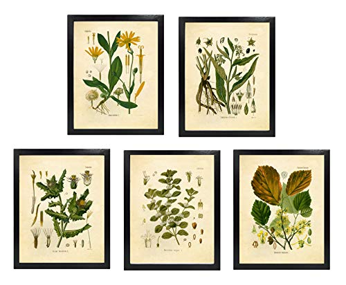 Ink Inc. Medicinal Therapeutic Herbalism Herb Vintage Botanical Art Prints, Set of 5, Arnica, Comfrey, Horehound, Thistle, Witch Hazel, 8×10 Matte Unframed Review