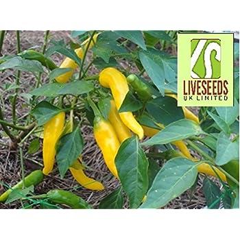Cayenne Golden Chilli Pepper Liveseeds 20 Seeds