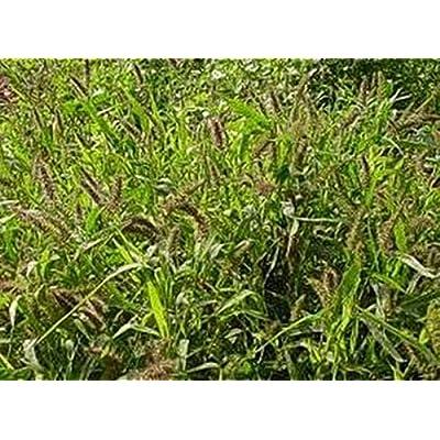Setaria Verticillata Seeds : Garden & Outdoor
