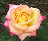 Peace Rose Live Plants (Yellow with Soft Pink Flower)
