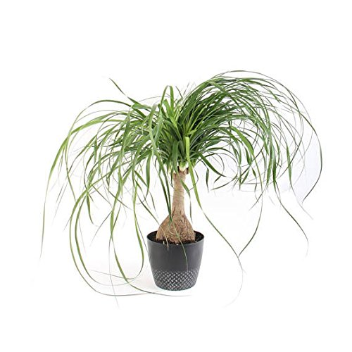 (Live Ponytail Palm - Bottle Palm - 6