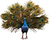 1 Pc, 22 Inch Artificial Open Tail Peacock Blue & Green Body Wired Feet Great For Displays & As Christmas Tree Toppers