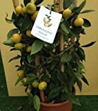 Rare- Sweet Lemon/Citrus limetta Authentic ! / 10 Fresh Seeds
