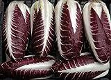 100 RADICCHIO ROSSA DI TREVISO PRECOCE Seeds No GMO's Organic Heirloon Gourmet