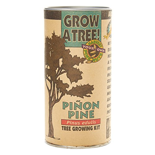 (Piñon Pine | Tree Seed Grow Kit | The Jonsteen)