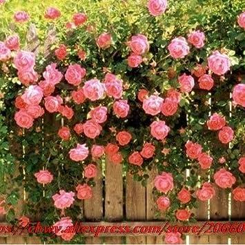 Pinkdose bonsáis de flowers20pcs jardín/bolsa de Nueva hermosa romántica, rosal trepador multiflora bonsai Rosa jardín de la familia perenne: Amazon.es: Jardín