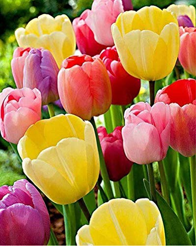 Diamond Painting by Number Kit, LPRTALK 5D DIY Diamond Painting Full Round Drill Colorful Tulips Embroidery for Wall Decoration 12X16 inches (Full Drill)