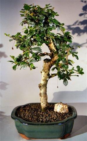 Bonsai Boy's Fukien Tea Flowering Bonsai Tree - Large Upright (Fukien Tea Bonsai Tree)