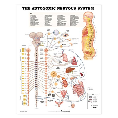 Autonomic Nervous System Anatomical Chart Paper - Anatomical System Nervous Chart